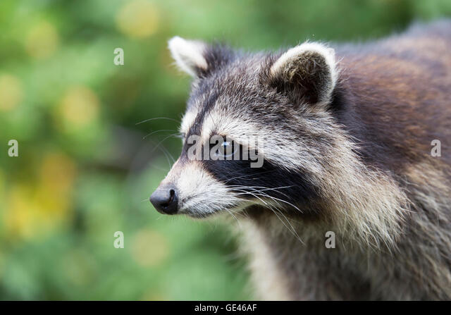 Cute North American raccoon ( Procyon lotor) portrait in forest - Stock Image