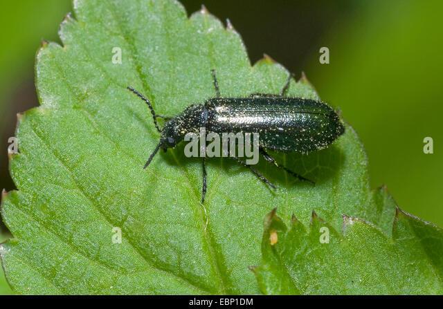 soft-wing flower beetles (Dasytes cyaneus, Dasytes caeruleus), sitting on a leaf - Stock Image