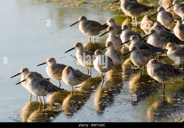 Willets - J.N. Ding Darling National Wildlife Refuge - Sanibel Island, Florida USA - Stock Image