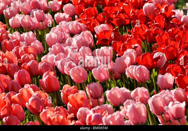 Darwin tulip (Tulipa Salmon Impression, Tulipa Pink Impression and Tulipa Red Impression) - Stock Image