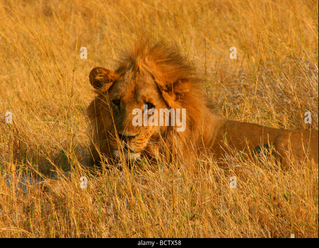 Lion (Panthera leo) lying in the tall grass, Okavango Delta, Botswana - Stock Image
