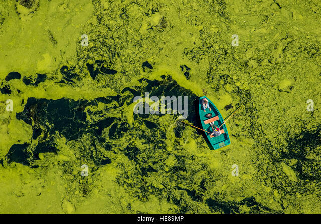 Aerial view of rowboat traveling through water weed, Kemnader Reservoir, Witten, Ruhr District, North Rhine-Westphalia, - Stock Image