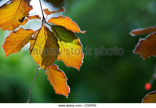 Fagus sylvatica f. purpurea. Copper beech leaves lit by sunlight. UK - Stock Image
