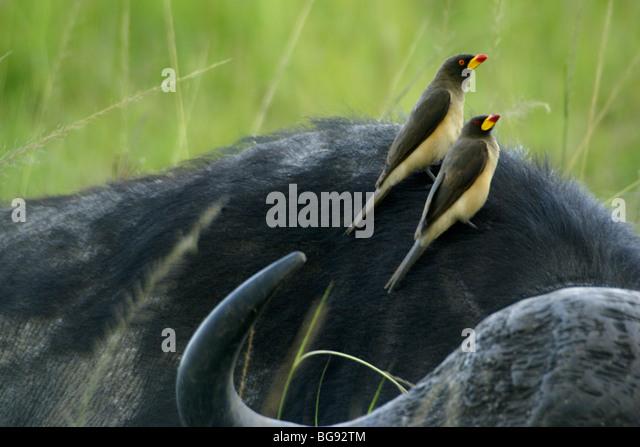 Yellow-billed oxpeckers on Cape buffalo, Masai Mara, Kenya - Stock-Bilder