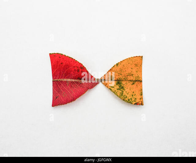 Red and yellow halves of autumn leaves - Stock Image