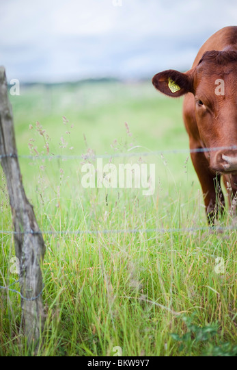 Lonely cow in the pasture - Stock Image