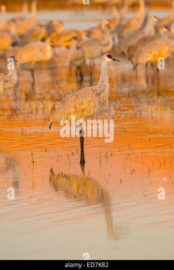 Sandhill Crane  Grus canadensis tabida  Bosque del Apache National Wildlife Refuge, New Mexico, United States 16 - Stock-Bilder