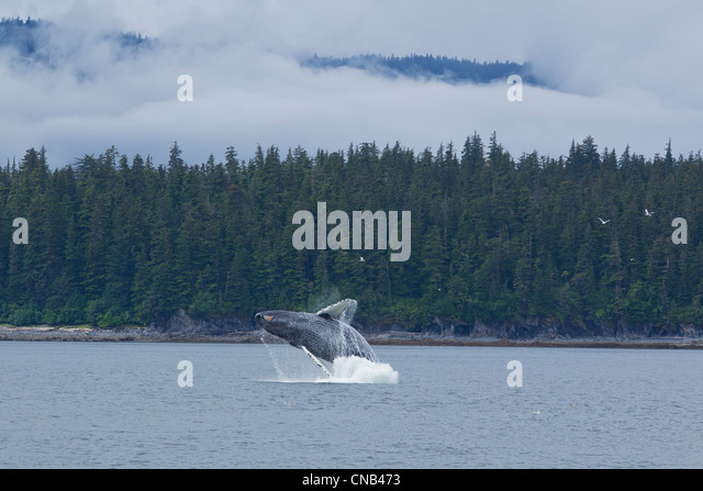 Humpback whale breaches in Chatham Strait near Chichagof Island, Tongass National Forest, Southeast Alaska, Summer - Stock Image