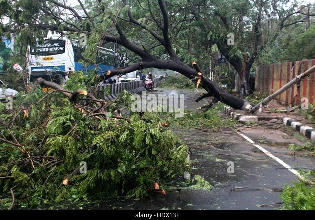 Trees that came in the path of Cyclone Vardah, lie uprooted in Chennai, India on December 13, 2016 - Stock-Bilder