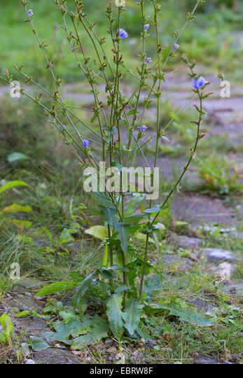 blue sailors, common chicory, wild succory (Cichorium intybus), blooming, Germany - Stock Image