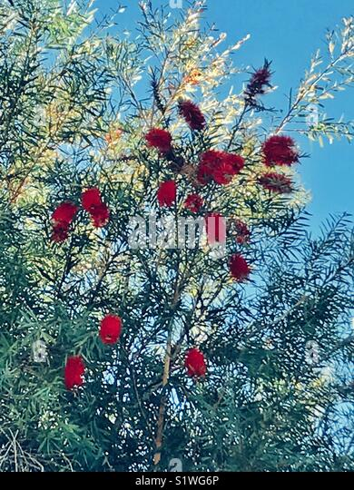Red bottlebrush flowers tree - Stock Image