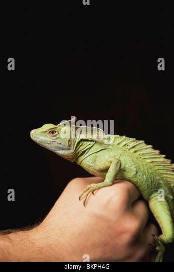 A Lizard In A Person's Hand - Stock Image