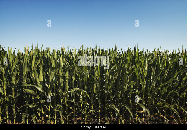 New York state USA field of tall maize plants in scenic landscape - Stock Image