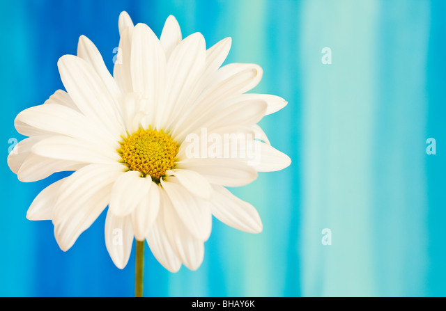 white and yellow daisy on a handpained watercolor background - Stock-Bilder