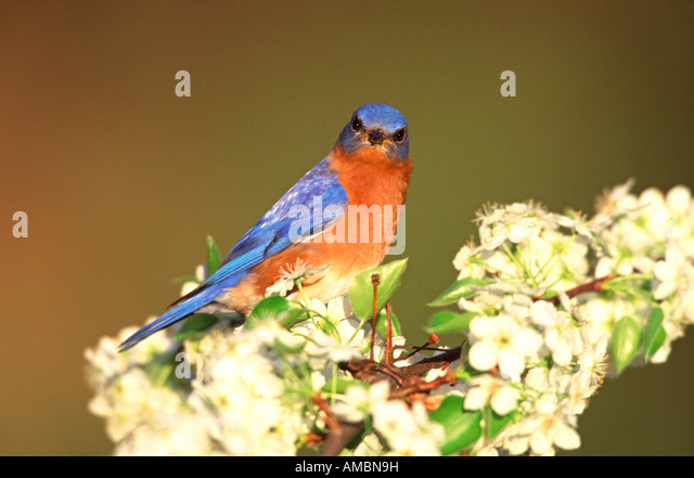 Eastern Bluebird in Pear Flowers - Stock Image