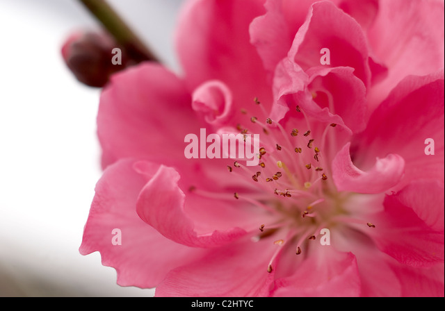 Ornamental pink peach tree blossom - Stock Image