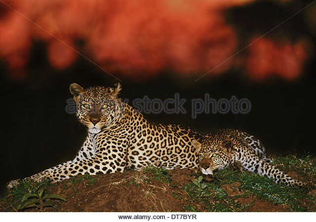 Leopard at dawn Panthera pardus Masai Mara Reserve Kenya Masai Mara Reserve Kenya - Stock Image