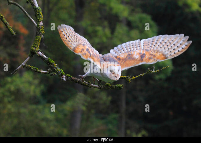 Barn owl (Tyto alba), flying, Germany - Stock Image