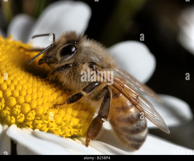 A bee - Stock Image