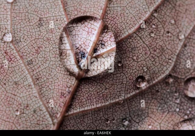 Rain drop on leaf - Stock Image
