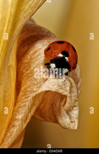 Lady Bug on Tulip - Stock Image