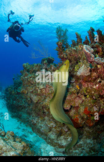 Underwater photographer trying to capture picture of free swimming moray eel. - Stock-Bilder
