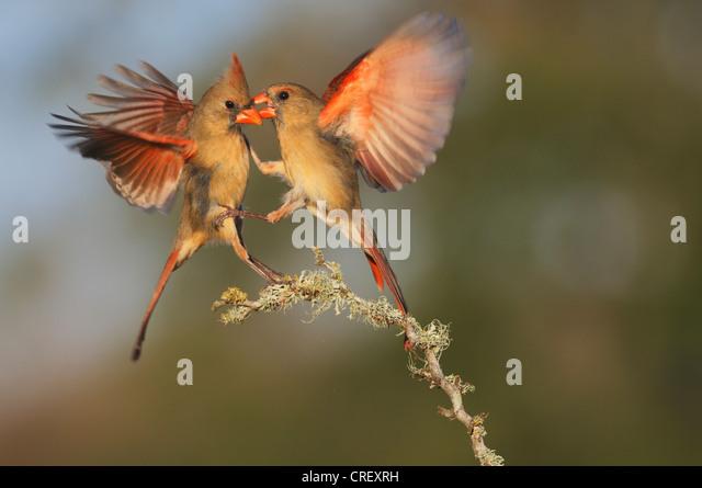 Northern Cardinal (Cardinalis cardinalis), females fighting, Dinero, Lake Corpus Christi, South Texas, USA - Stock Image