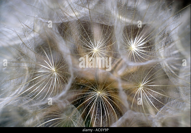 Goat s beard or Jack go to bed at noon abstract - Stock-Bilder