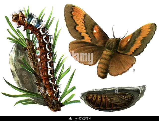 Insect pest Pine-tree Lappet (Dendrolimus pini). - Stock Image