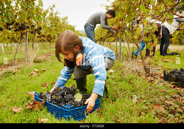 A young girl picking up a crate of grapes from the ground in a vineyard. - Stock Image
