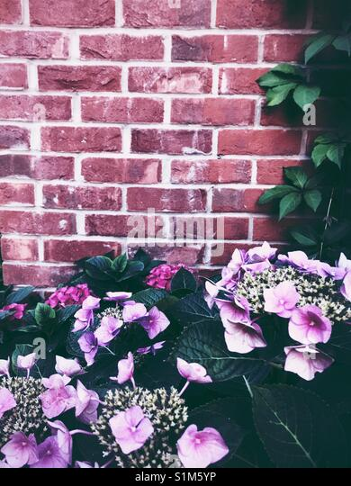Pink hydrangea flowers with brick wall - Stock Image