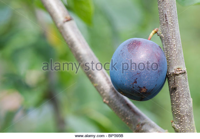 Prunus domestica. Plum 'Anita' on a tree - Stock Image