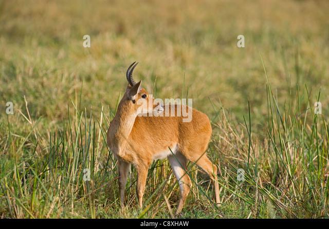 Bohor Reedbuck Redunca redunca Masai Mara Kenya - Stock Image
