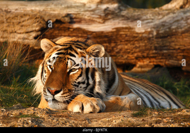 Sumatran tiger laying in front of  a fallen tree in the evening sun. - Stock Image