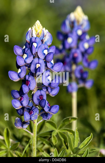 Texas State Flower - BlueBonnet - Stock Image