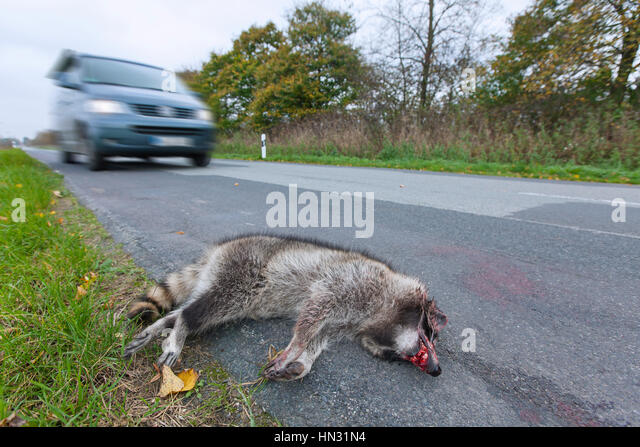 Raccoon (Procyon lotor) roadkill after collision with speeding car - Stock Image