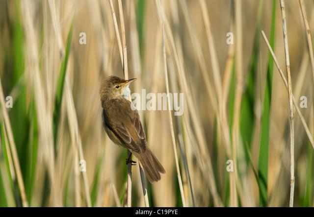 Reed Warbler Acrocephalus cirpaceus Cley Norfolk spring - Stock Image
