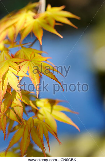 Acer Palmatum, Katsura Japanese maple tree against a stream reflecting blue sky background. Shallow DOF - Stock Image