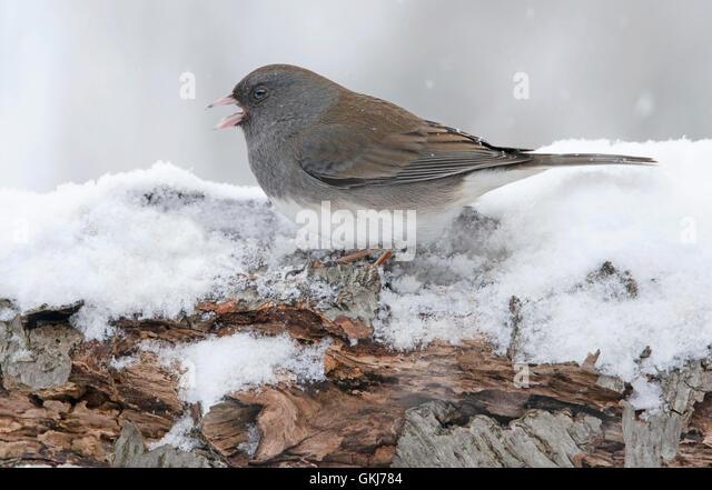 Slate-Colored or Dark-eyed Junco hyemalis, snowing, winter, female, Eastern USA - Stock Image