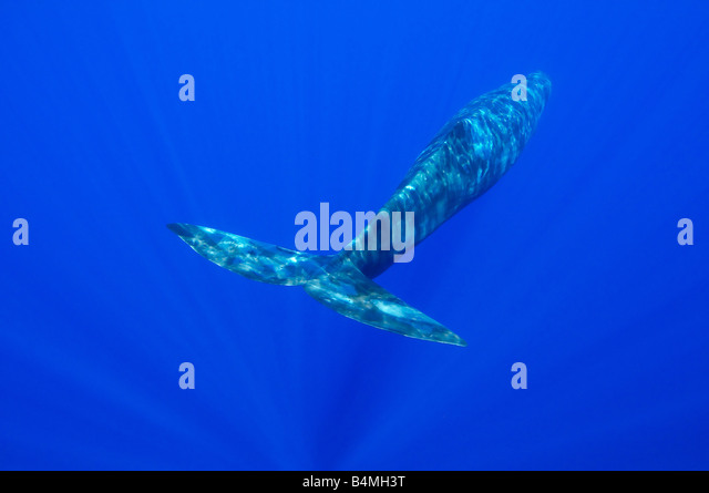 Physeter catodon, Physeter macrocephalus, sperm whale underwater - Stock Image