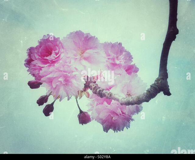 Pink cherry blossom flowers - Stock Image