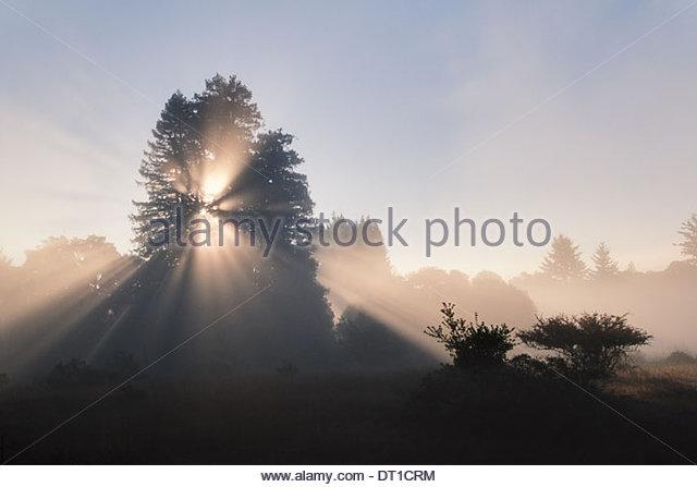 Monterey Bay California USA Sun coast redwoods Sequoia sempervirens Monterey - Stock Image