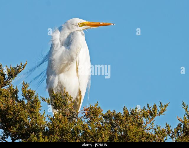 Great Egret in Tree Preening - Stock Image