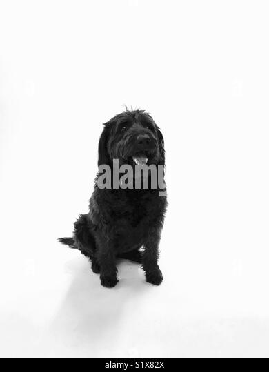 A black labradoodle dog on a white background. - Stock Image