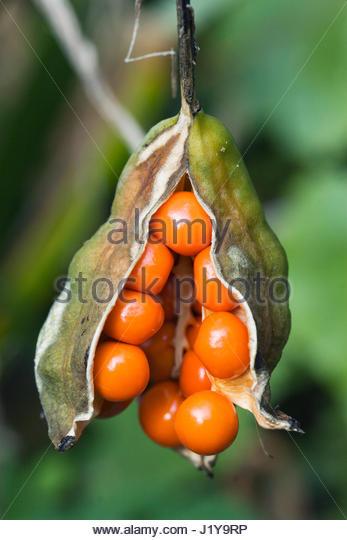 IRIS FOETIDISSIMA  STINKING IRIS  HARDY BULB  AUTUMN FRUITS  NOVEMBER - Stock Image