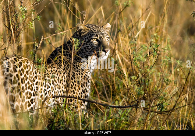 Leopard - Masai Mara National Reserve, Kenya - Stock Image