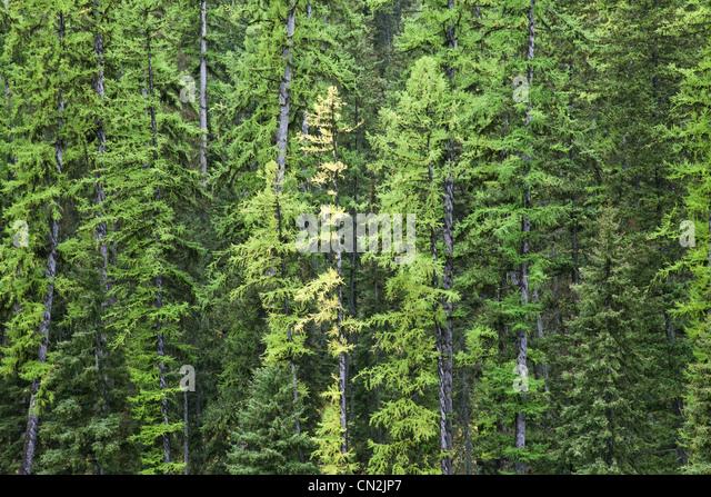 Tamarack Trees Changing Color Amongst Evergreens, Montana, USA - Stock Image