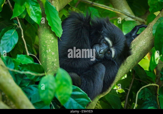 Captive Agile Gibbon (Hylobates agilis) at Singapore Zoo - Stock Image
