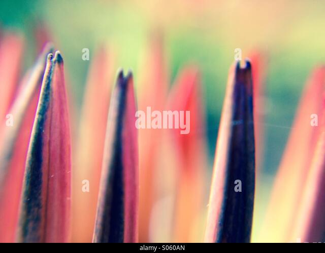 Close up view of gazania petals - Stock Image