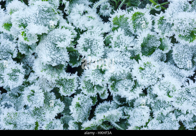 A macro photo of ice crystals on a ground cover plant, Western Washington; Washington, United States of America - Stock Image